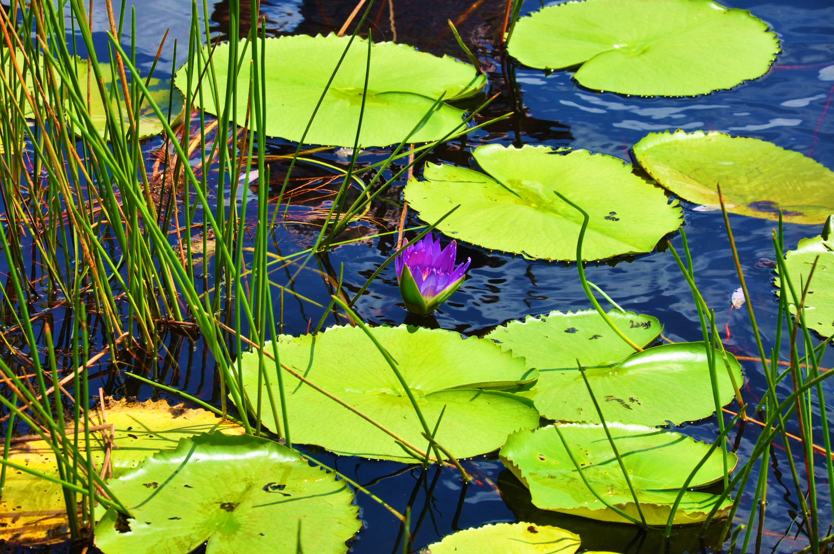 Water Lily2